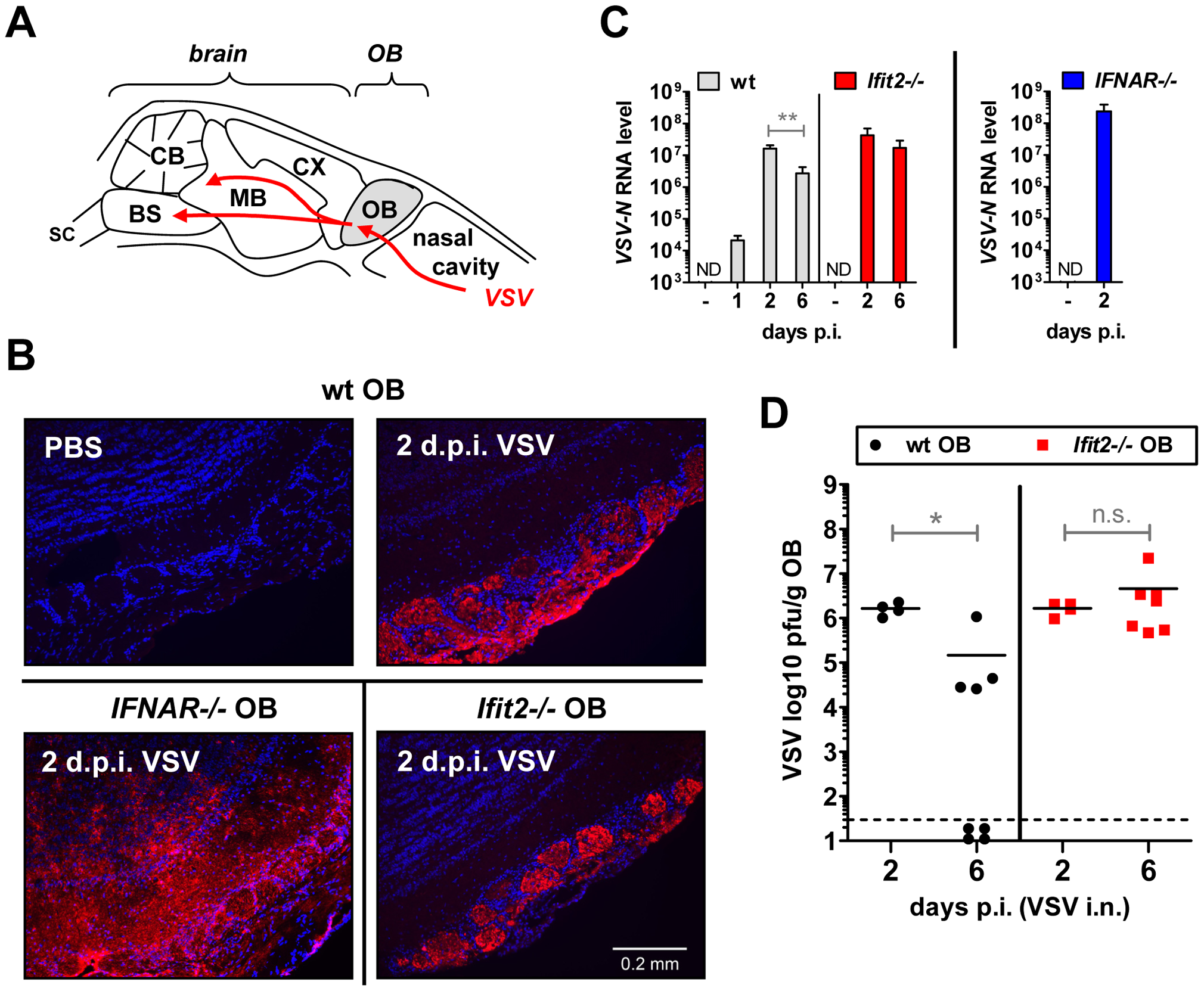<i>Ifit2</i> does not inhibit VSV entry and replication in olfactory bulbs.