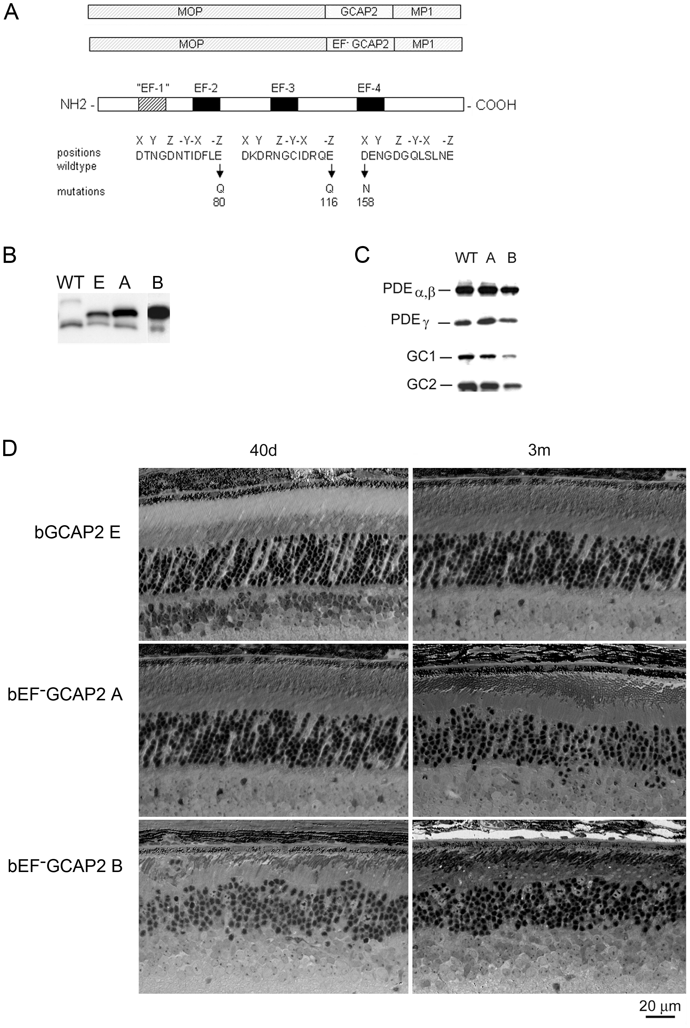 Transgene expression of bEF<sup>−</sup>GCAP2 in rods leads to retinal degeneration.