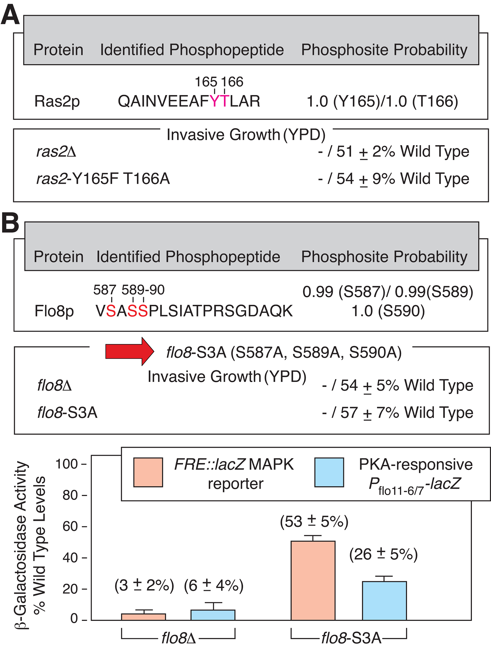 Newly identified phosphorylation sites in Ras2p and Flo8p are required for wild-type yeast invasive growth.