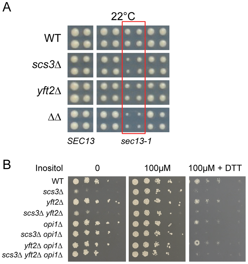 Hypersensitivity of <i>SCS3</i> and <i>YFT2</i> deletion strains to secretory/ER stress.