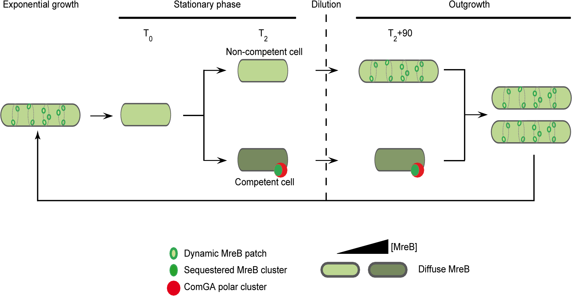 A model for sequestration of MreB by ComGA to prevent cell elongation and delay the escape from competence.