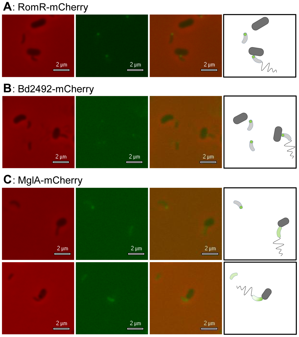 <i>B. bacteriovorus</i> RomR-mCherry and Bd2492-mCherry localised at the prey-interaction pole; MglA-mCherry showed variable diffuse foci.