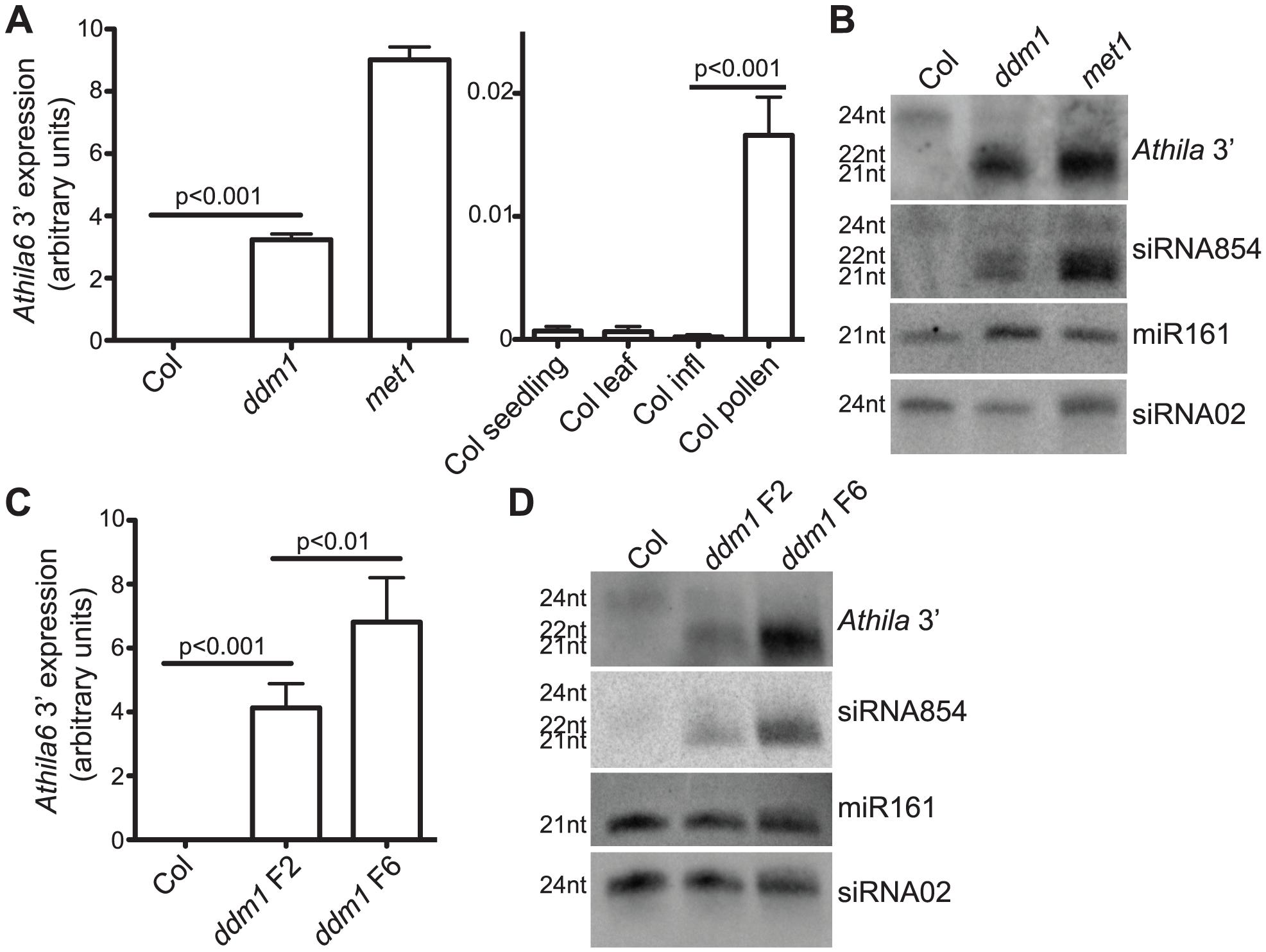 Expression of the <i>Athila6</i> retrotransposon leads to accumulation of <i>Athila</i> 21–22 nt siRNAs, including siRNA854.