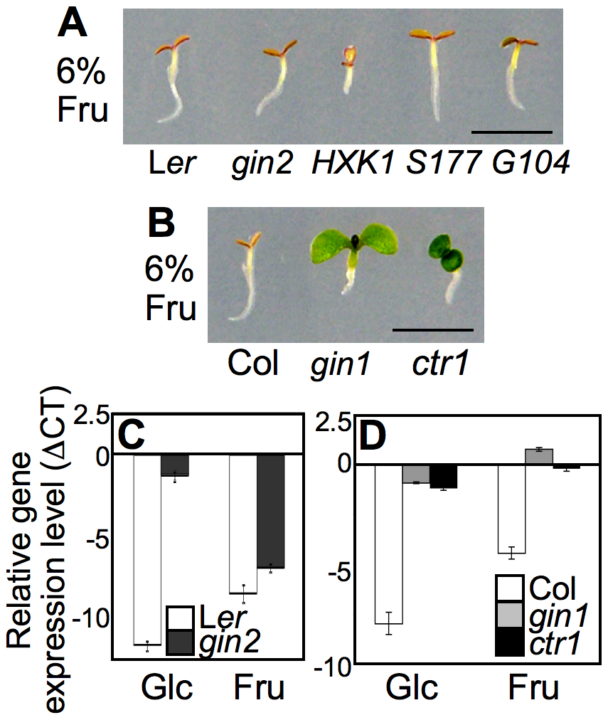 Differential seedling response to fructose signaling.