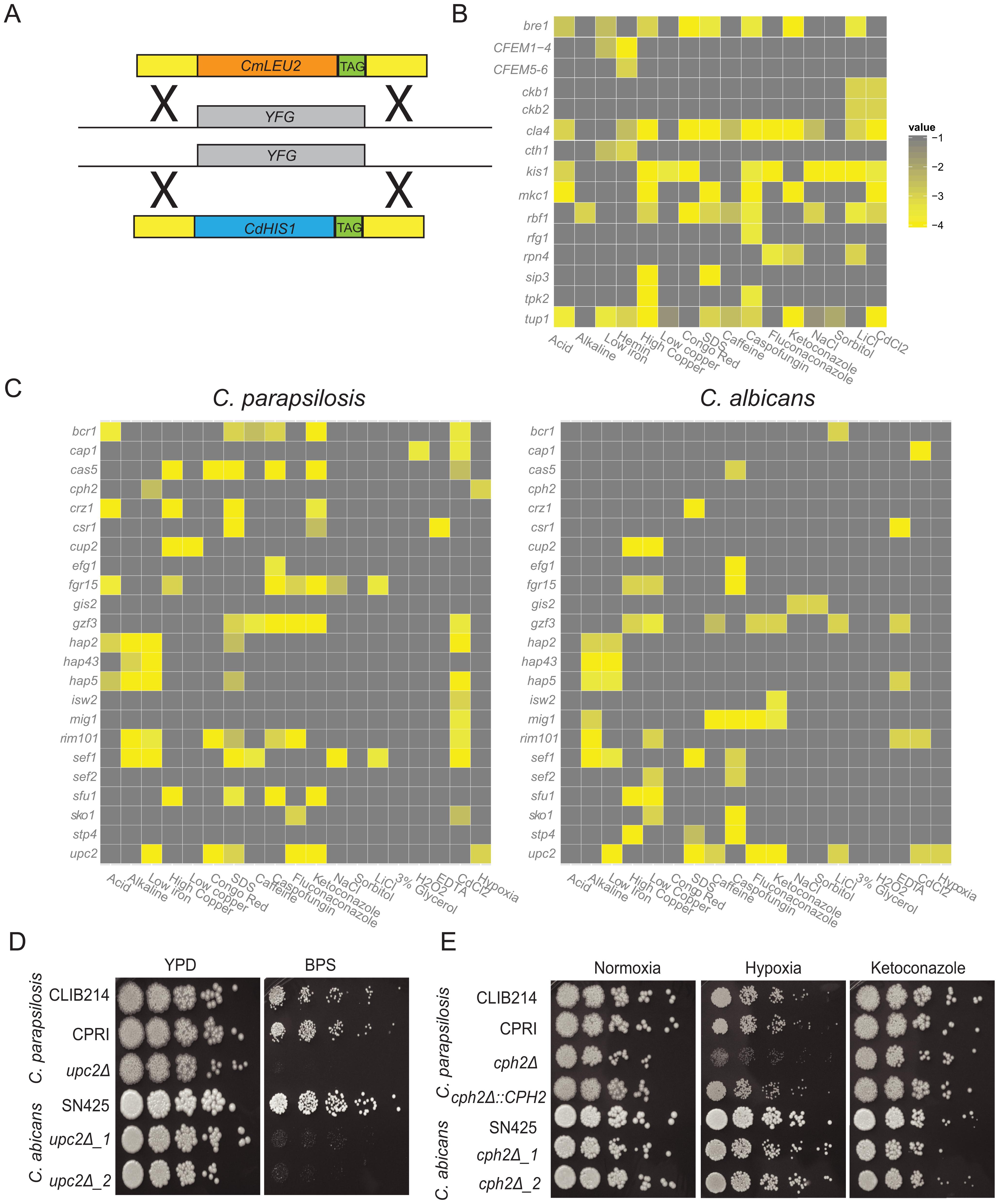 Phenotype screening of <i>C. parapsilosis</i> gene knockout strains.