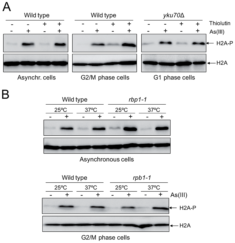 Transcription-independent DNA damage induction by As(III).