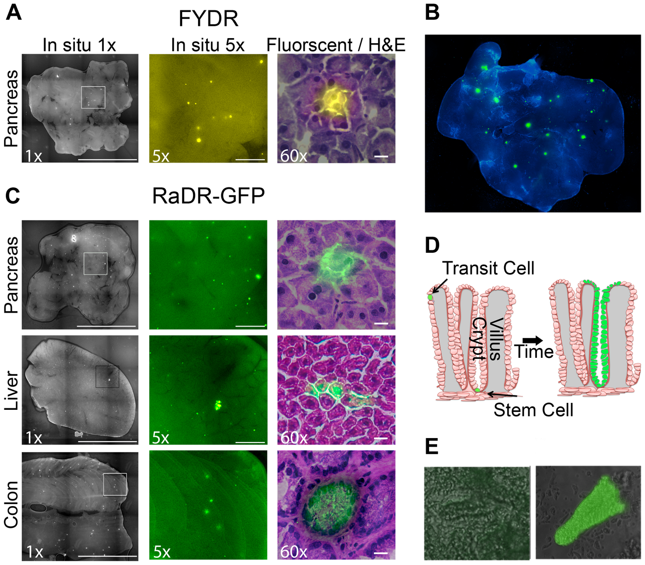Fluorescence detection of recombinant cells within intact tissues of FYDR and RaDR-GFP mice and identification of the underlying cell types.