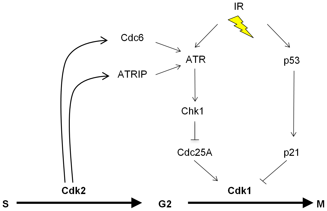 The proposed role of Cdk2 in the p53-independent regulation of Cdk1.