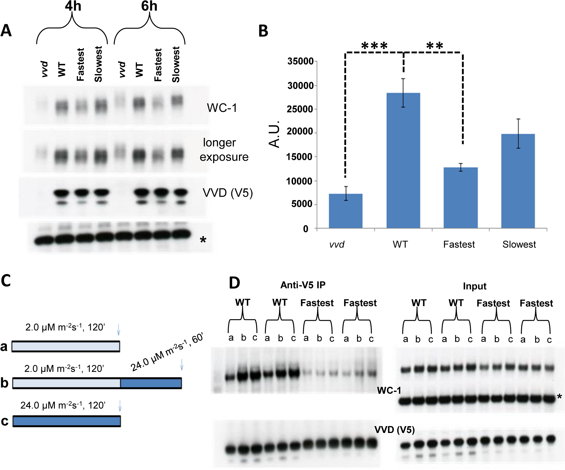 Reduced VVD-WCC interaction influences WC-1 stability in the fastest photocycle mutant and the system's ability to respond to changing light intensity.
