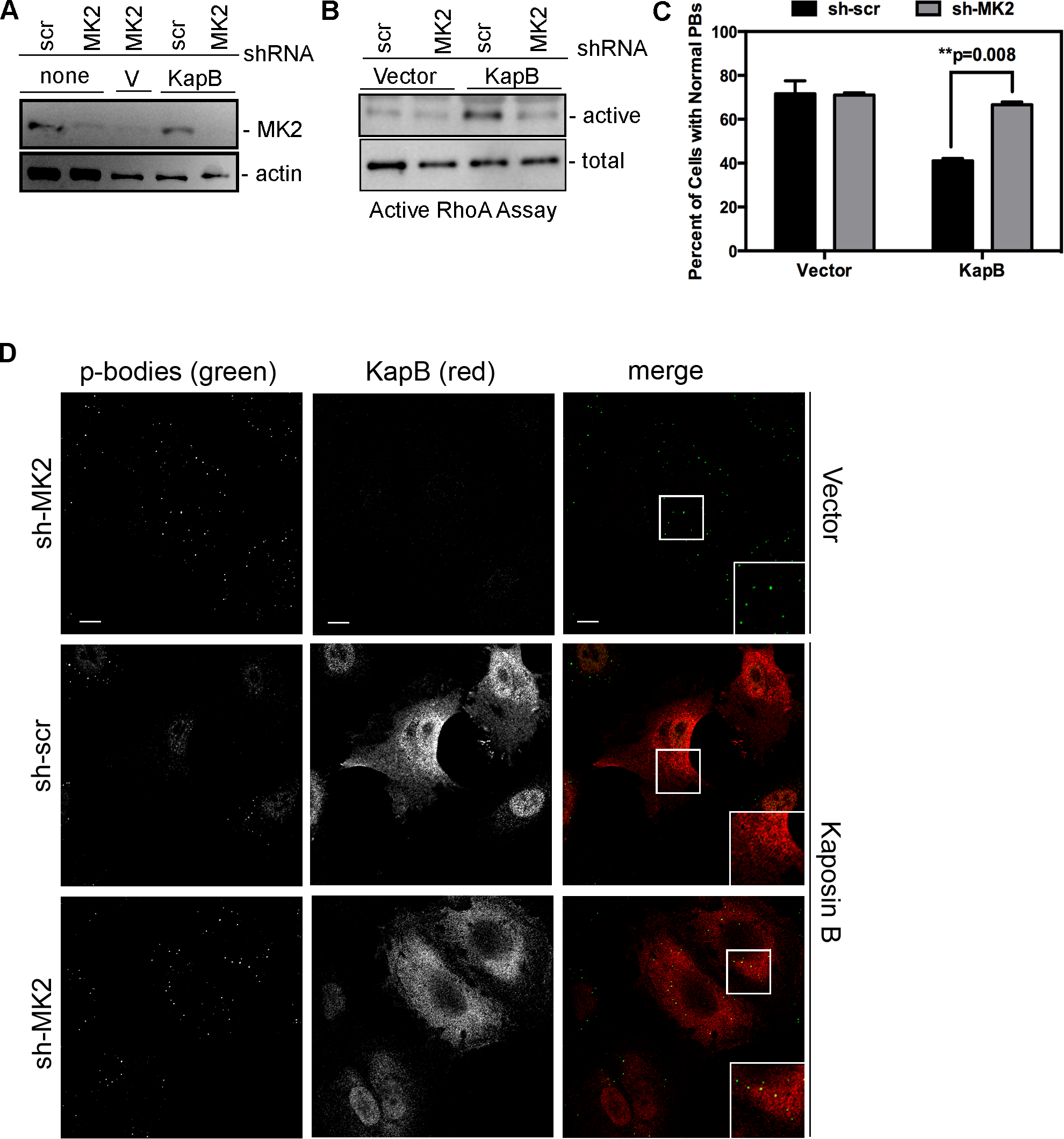 KapB-mediated activation of RhoA-GTPase and PB dispersal requires MK2.