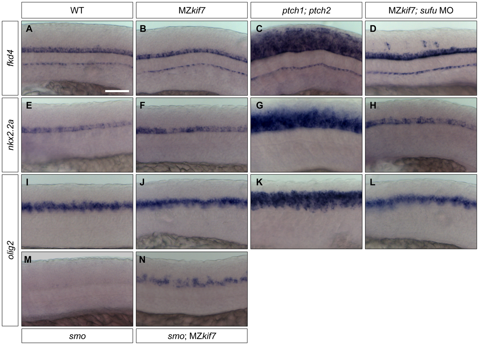 Hh target gene regulation in the neural tube is largely independent of Kif7 and Sufu function.