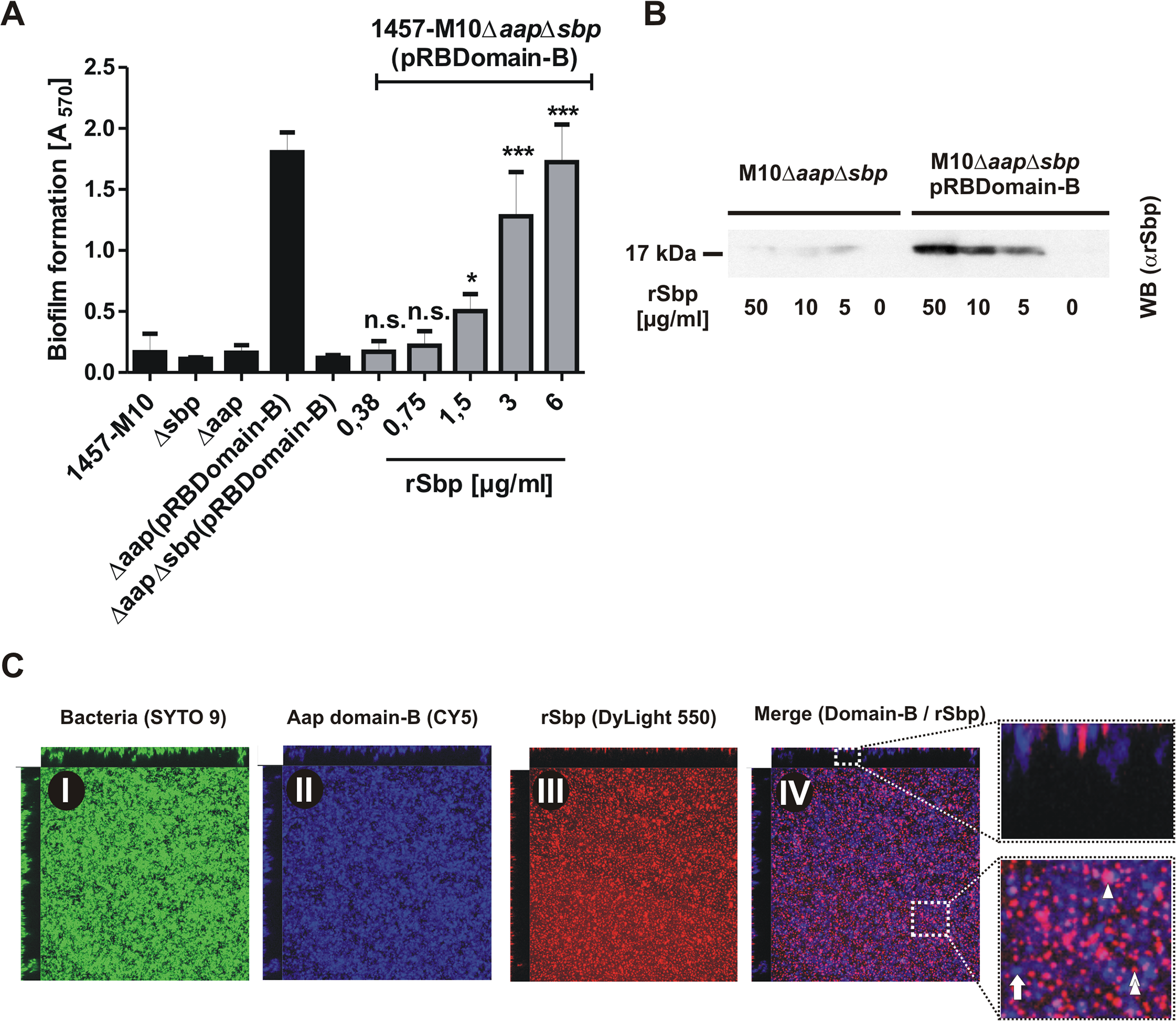 Functional role of Sbp in Aap-mediated <i>S</i>. <i>epidermidis</i> biofilm formation.