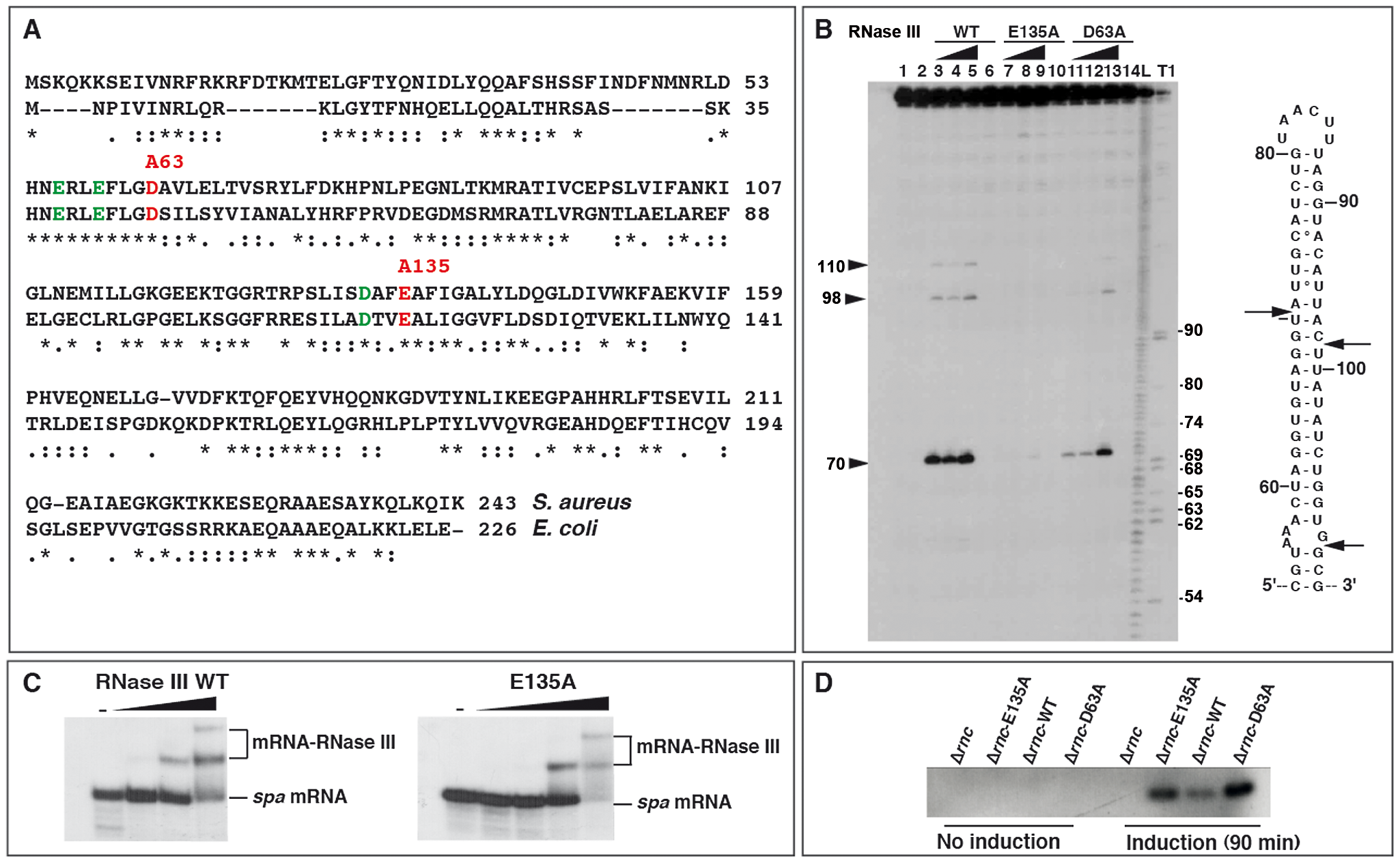 Effect of mutations in the catalytic site of <i>Staphylococcus aureus</i> RNase III.