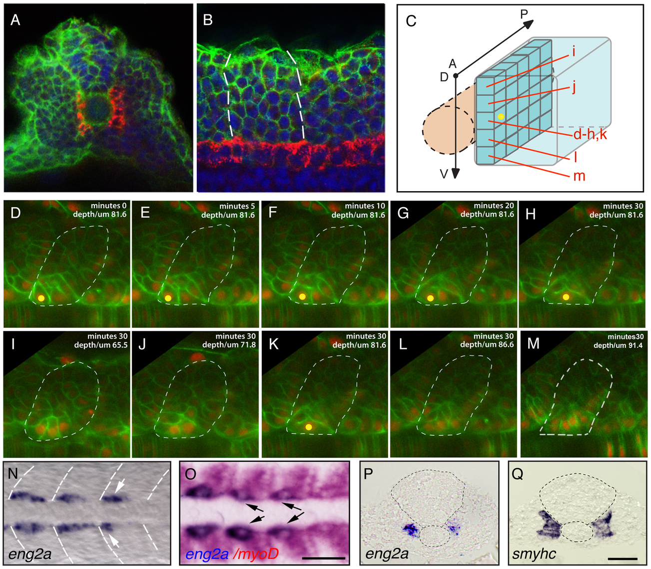 Distinct muscle precursor populations within the adaxial compartment.