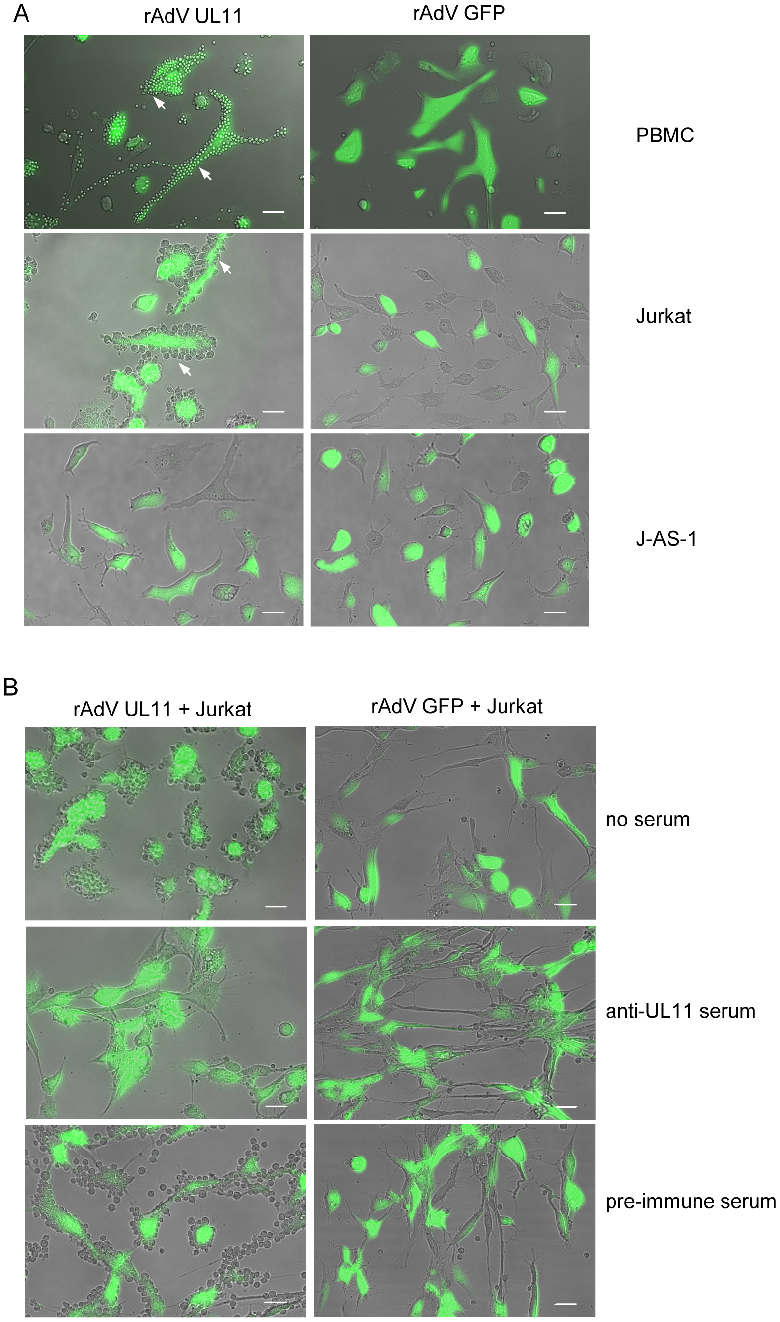 Surface expressed pUL11 mediates cell adhesion.