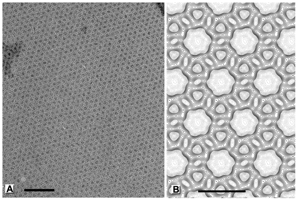 Honeycomb lattice formed by D13 on artificial membranes.