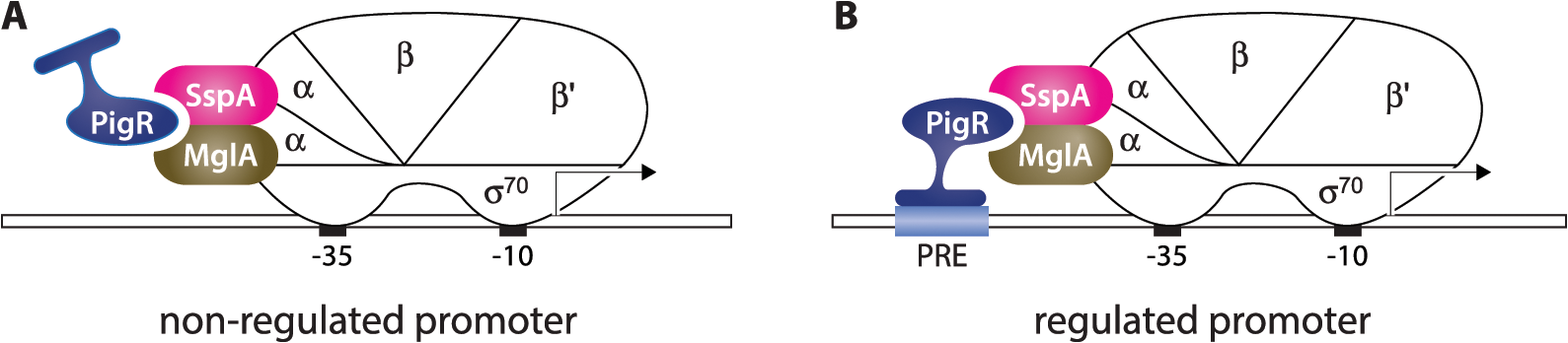 Model for how PigR functions coordinately with the MglA-SspA complex to positively control the expression of genes.