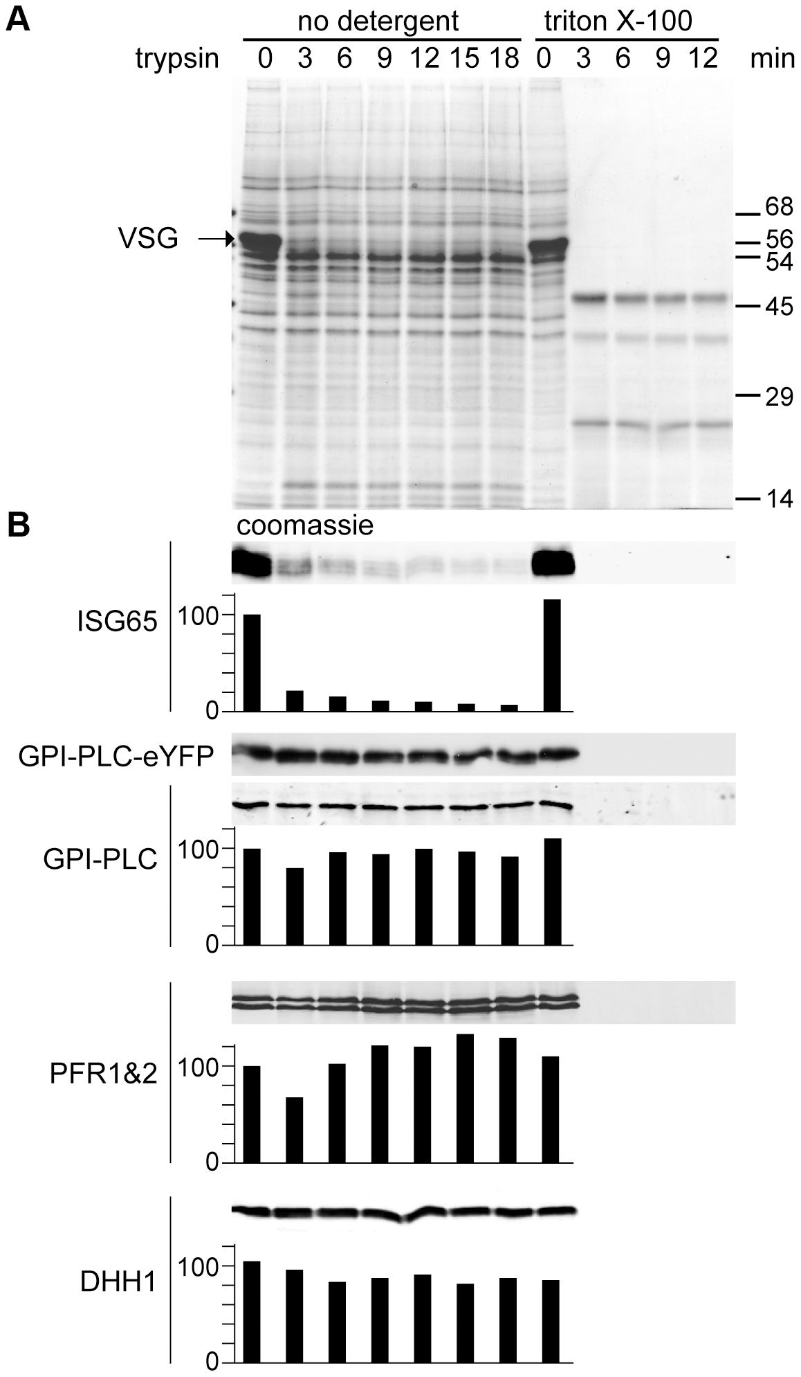 GPI-PLC is not sensitive to trypsin digest in live cells.