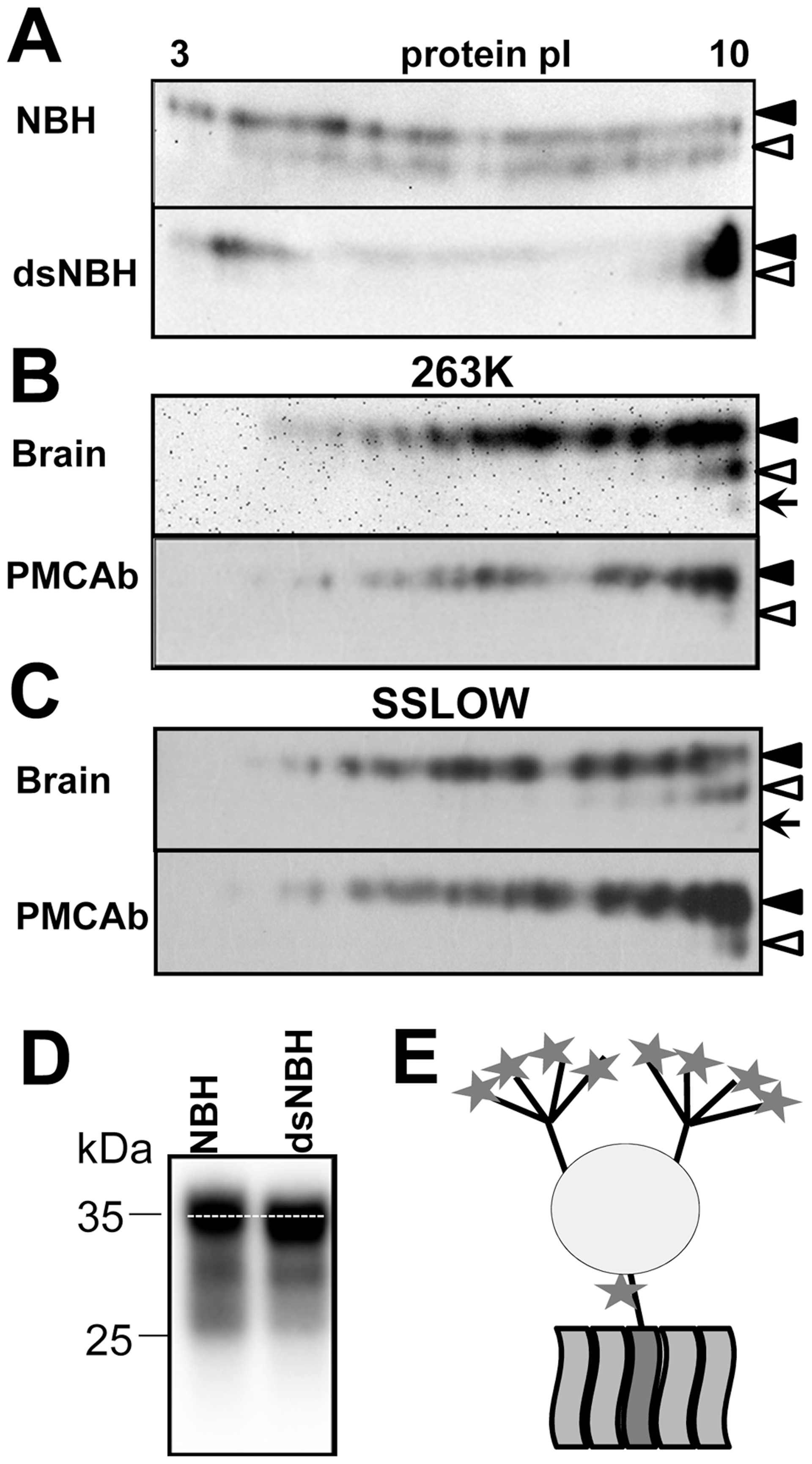 2D analysis of PrP<sup>C</sup> and brain- and PMCAb-derived PrP<sup>Sc</sup>.
