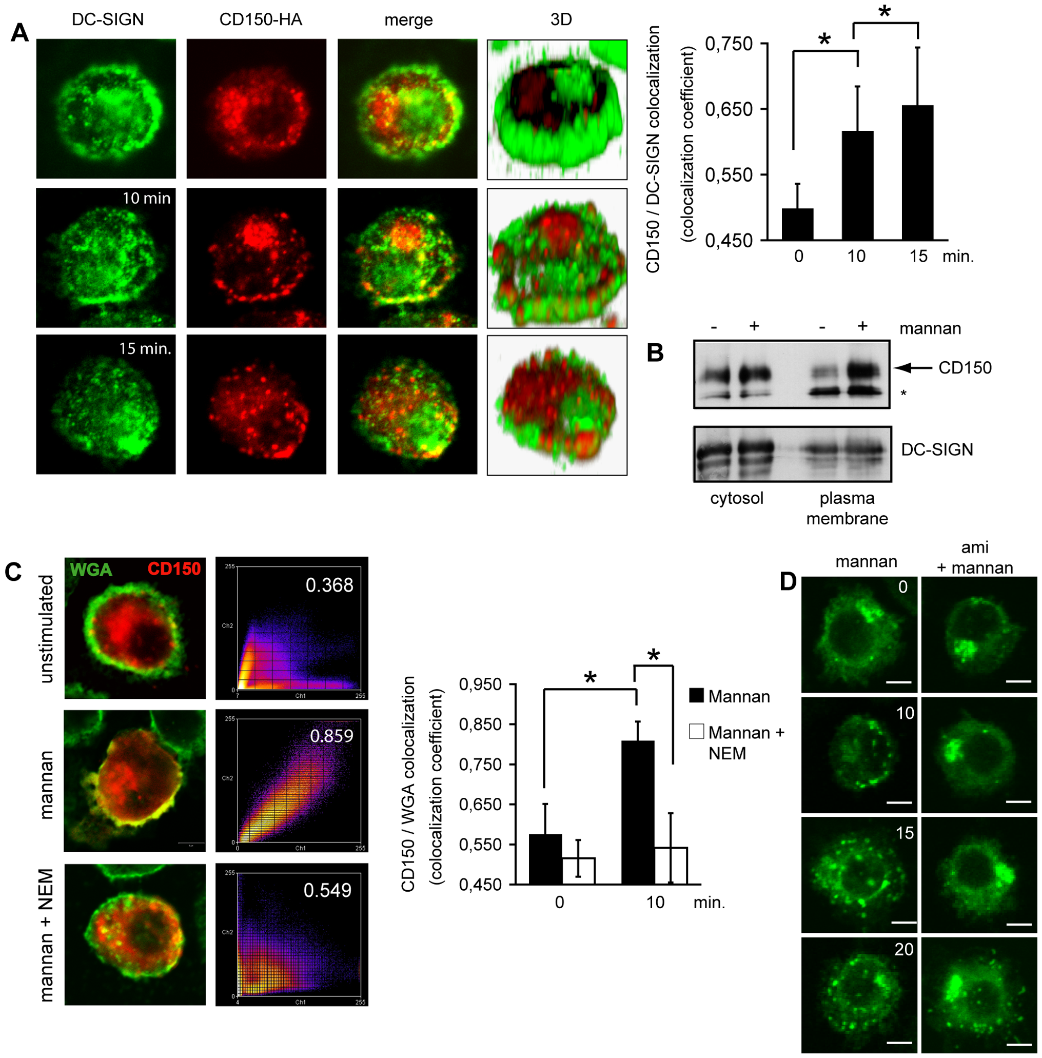 DC-SIGN ligation causes SMase dependent membrane redistribution of CD150 from intracellular compartments in DCs.