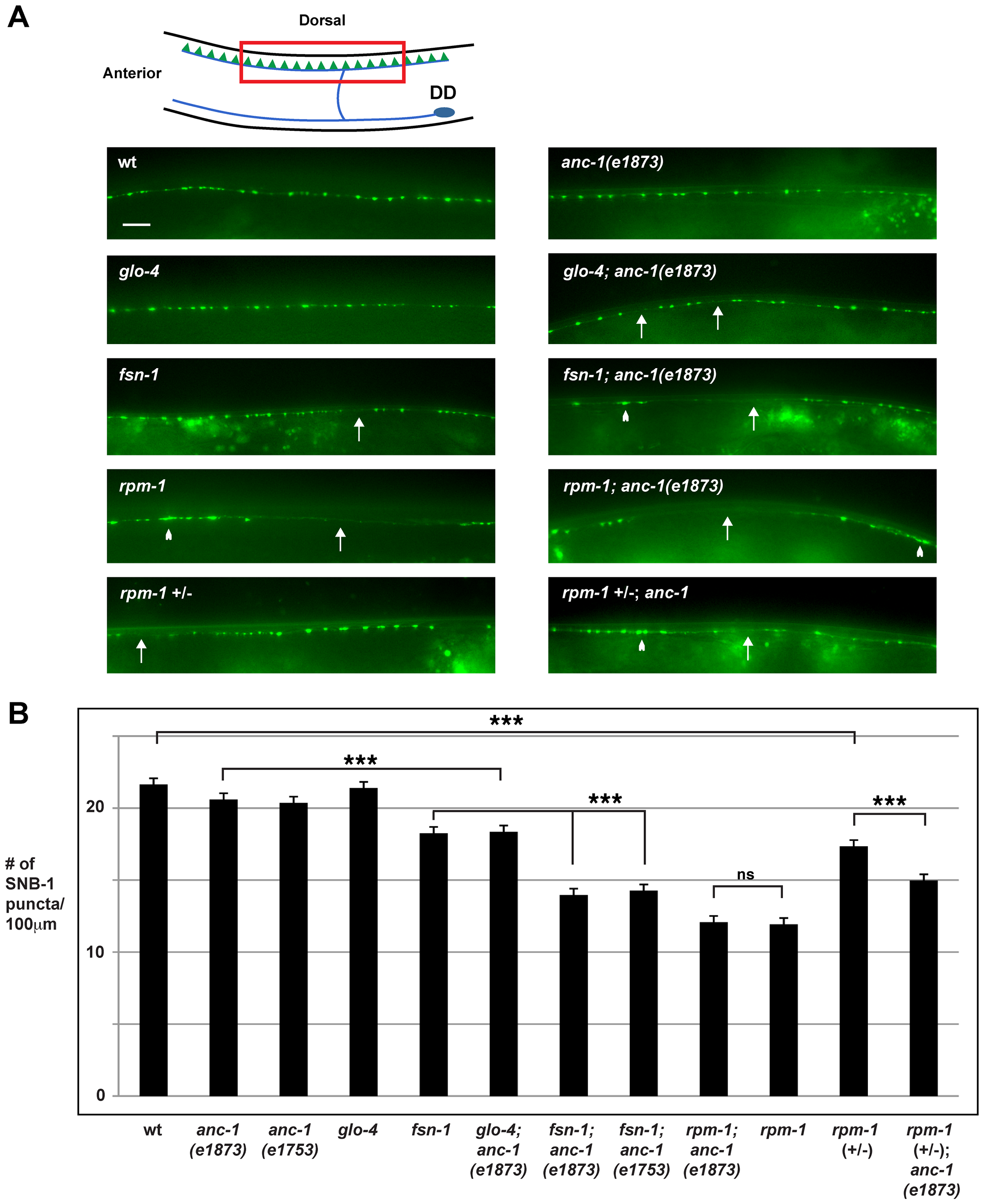 <i>anc-1</i> regulates synapse formation in the GABAergic motor neurons.
