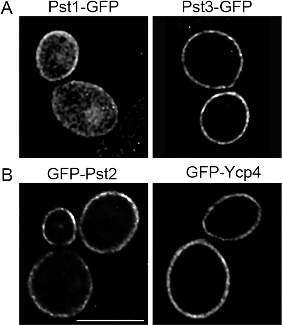 Plasma membrane localization of the <i>C</i>. <i>albicans</i> FLP proteins.