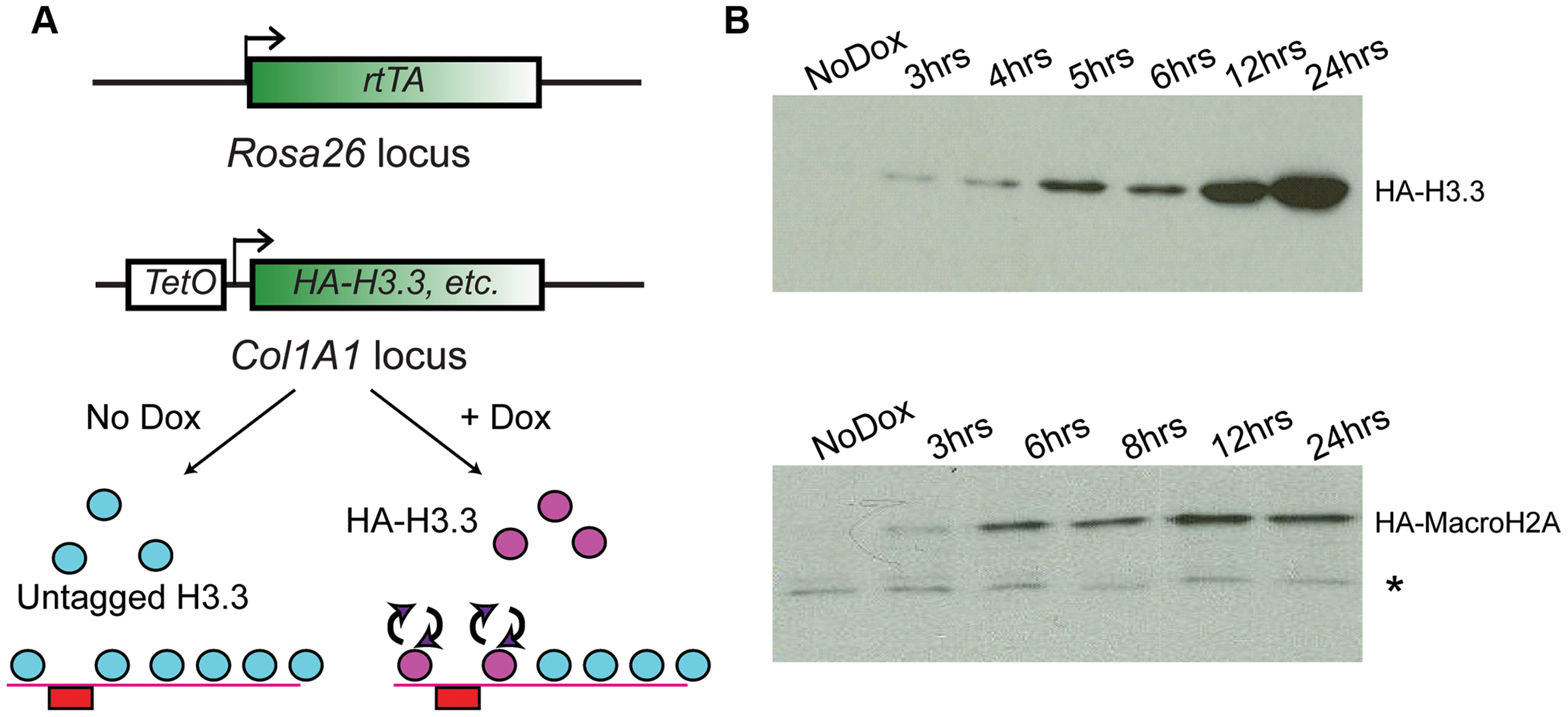Generation of ES lines carrying inducible HA-tagged histones.