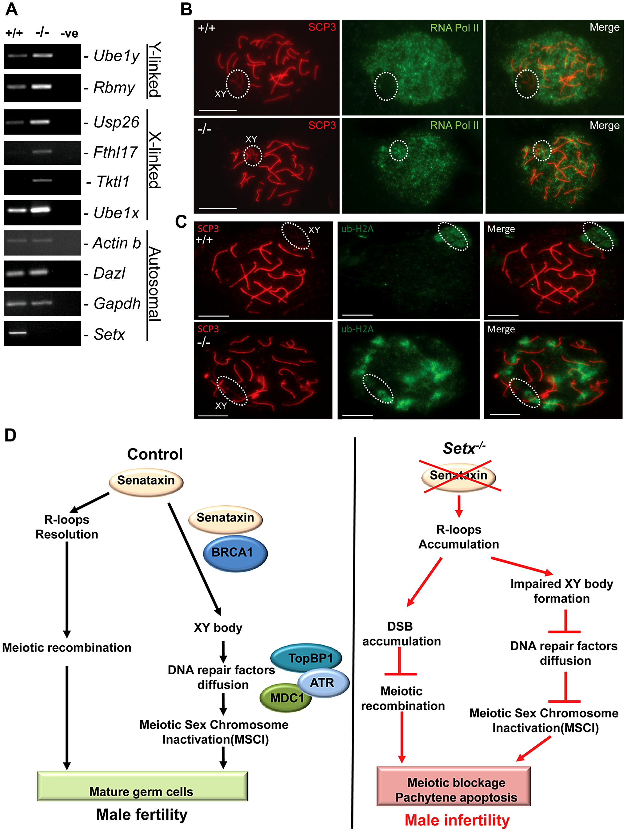 Aberrant meiotic sex chromosome inactivation in <i>Setx<sup>−/−</sup></i> mice.