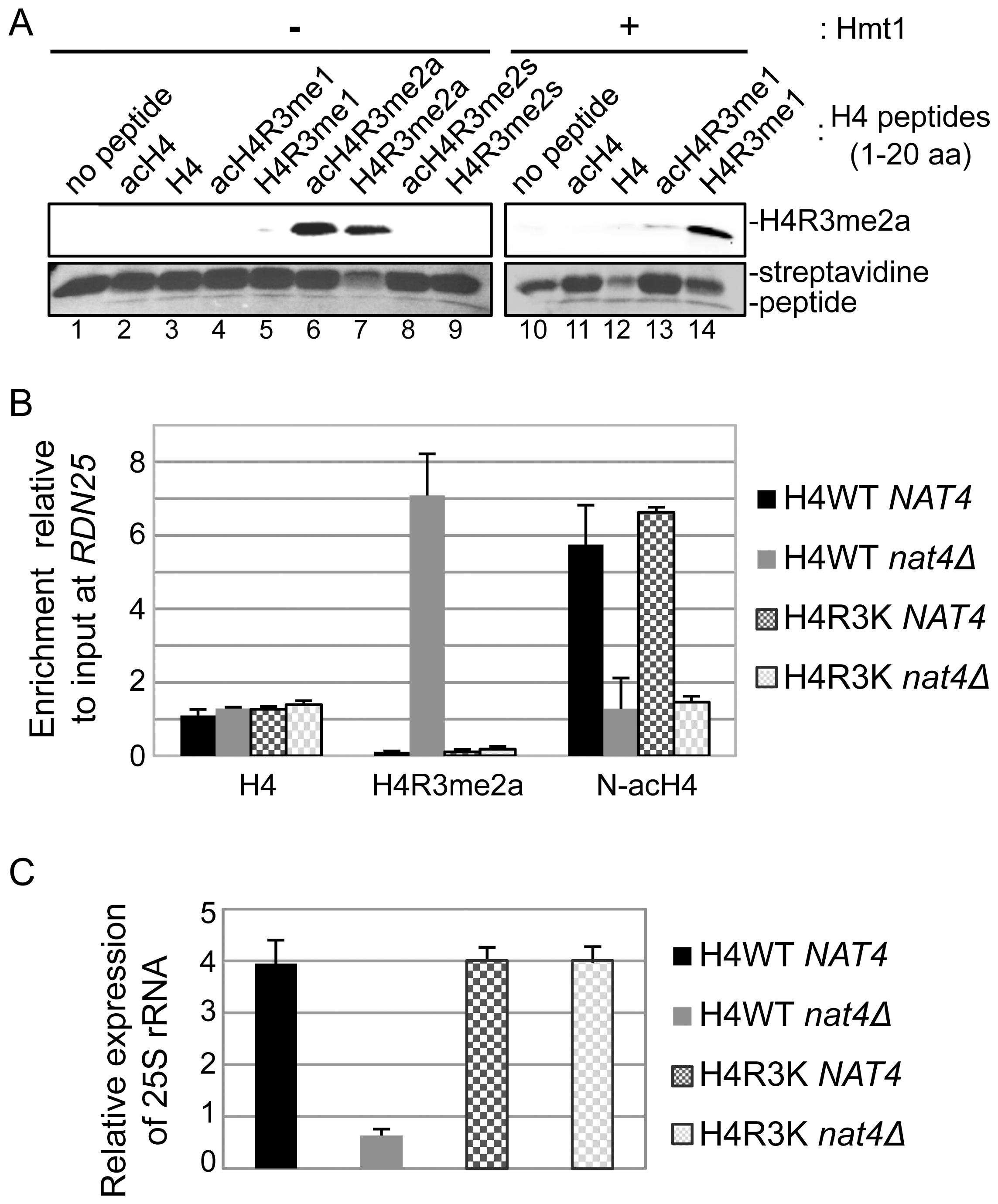 N-acH4 inhibits the Hmt1 methyltransferase activity towards H4R3.