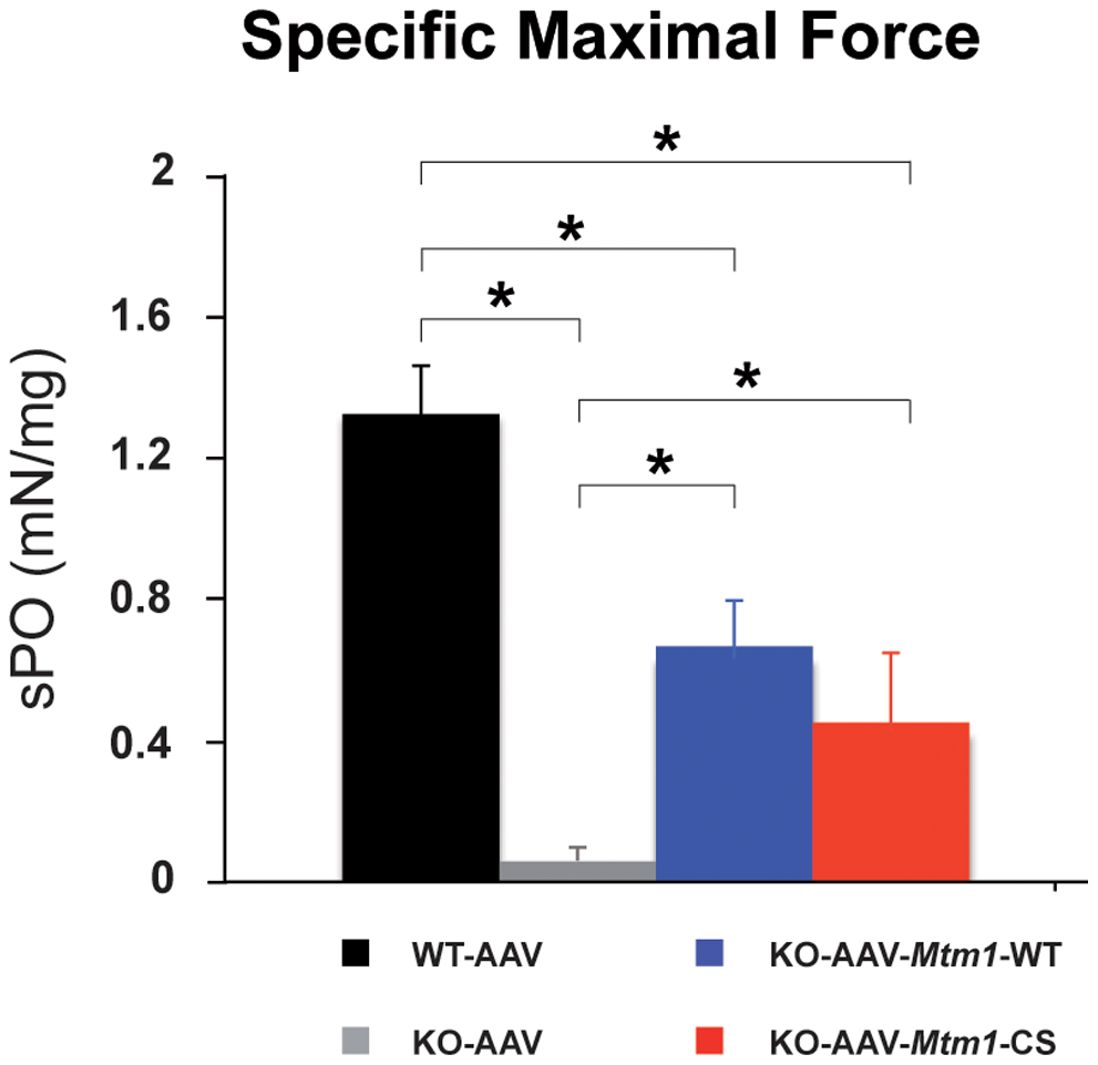 The phosphatase-dead C375S myotubularin mutant improves muscle force in <i>Mtm1</i> KO mice.
