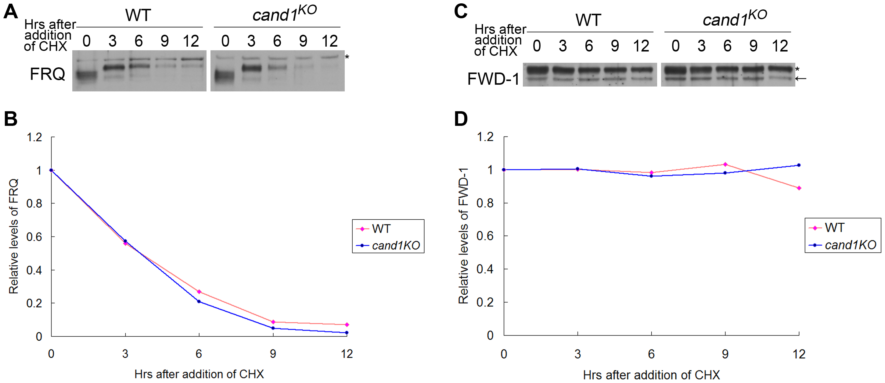 CAND1 is not required for regulation of the SCF<sup>FWD-1</sup> ubiquitin ligase.