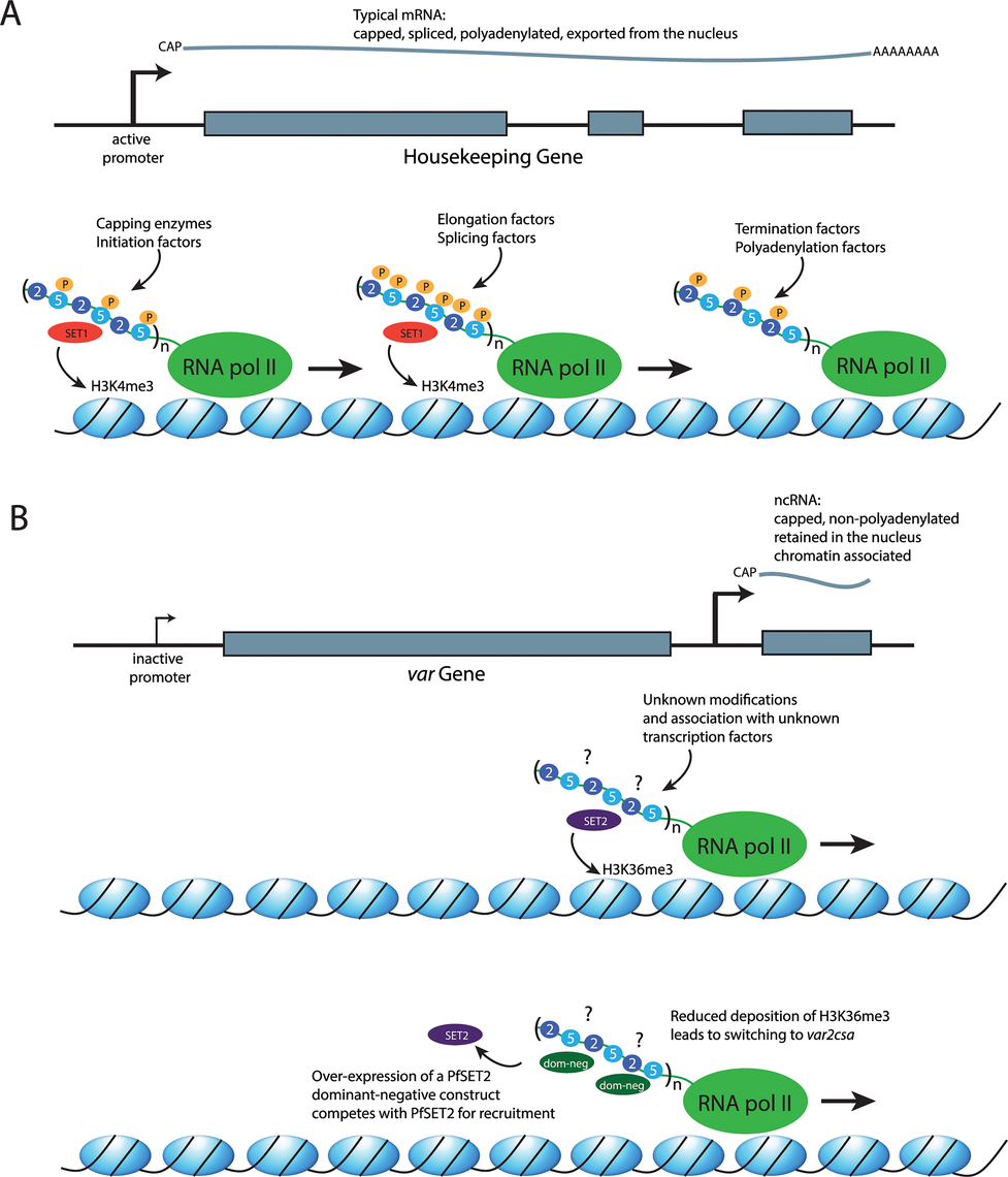 The role of the RNA polymerase II CTD in recruiting different factors to the transcription complex.