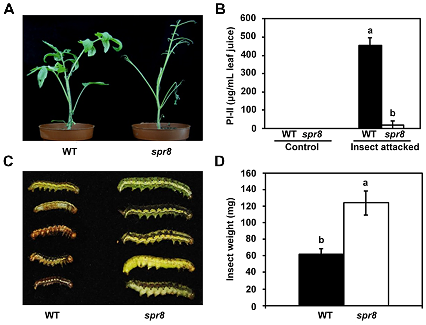 <i>spr8</i> plants show reduced resistance to cotton bollworm larvae (<i>Helicoverpa armigera</i>).