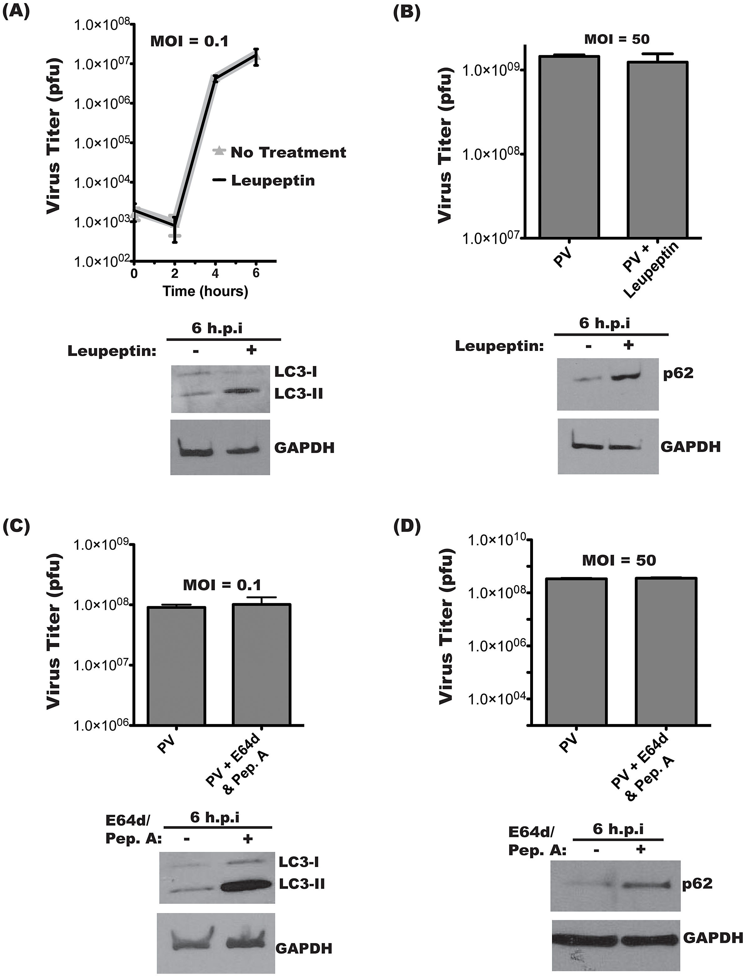 Intracellular poliovirus yields are not affected by lysosomal protease inhibitors.