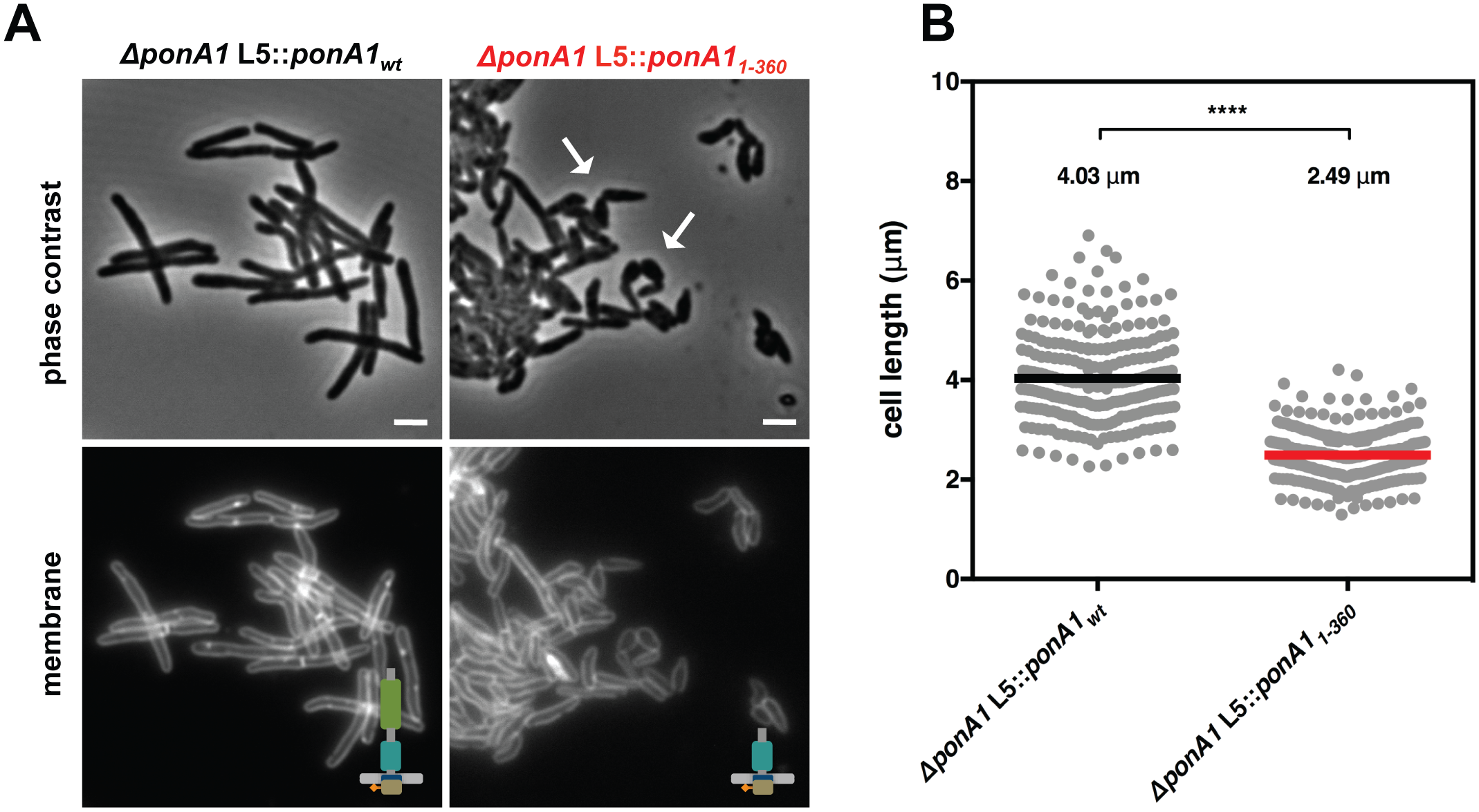 PonA1's periplasmic domains modulate cell shape in mycobacteria.