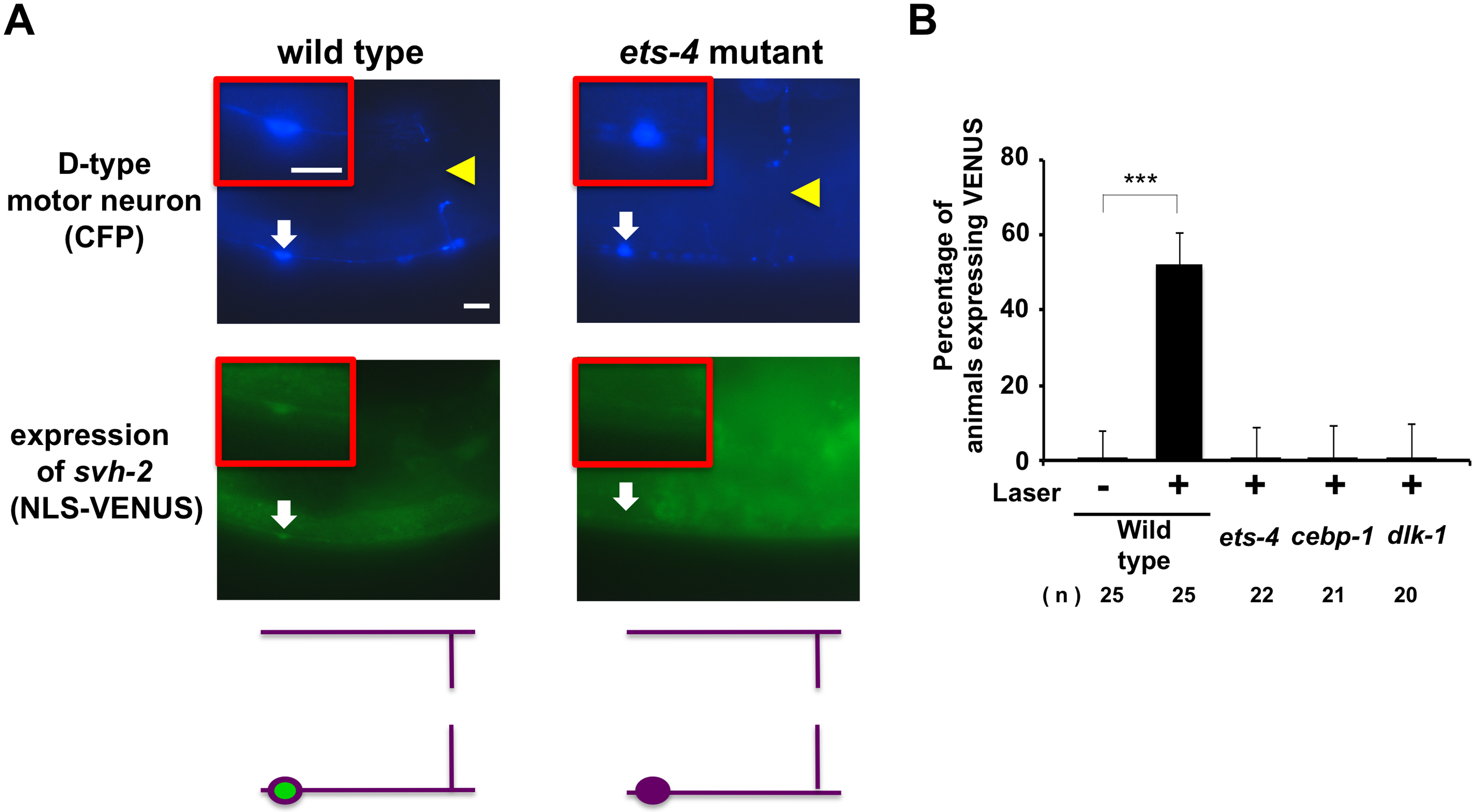 ETS-4 and CEBP-1 are required for the transcriptional induction of the <i>svh-2</i> gene in response to axon injury.