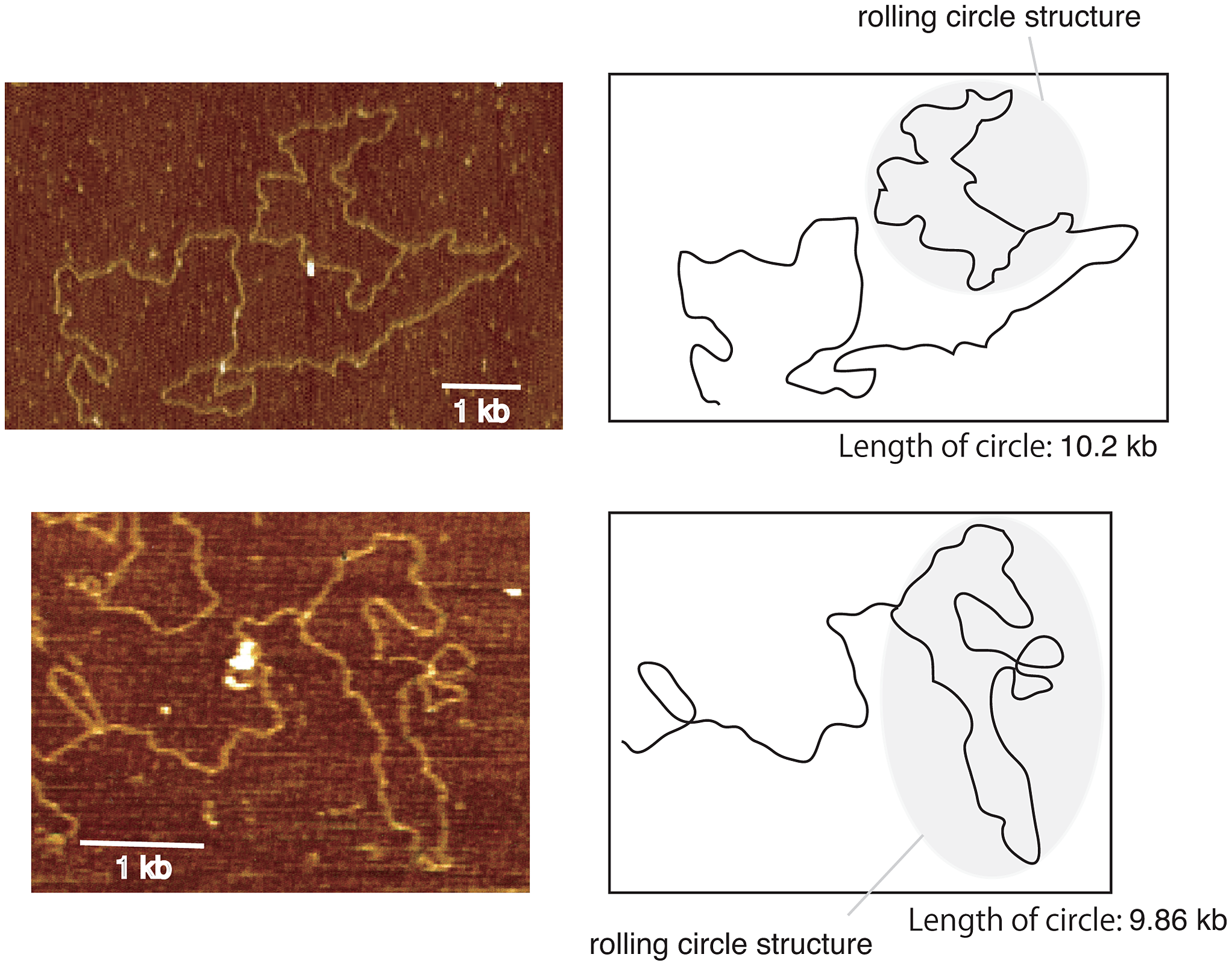 Images of rolling circle structure by atomic force microscopy.