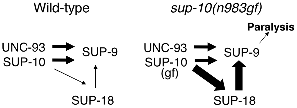 A model for activation of the SUP-9 channel by multiple subunits.