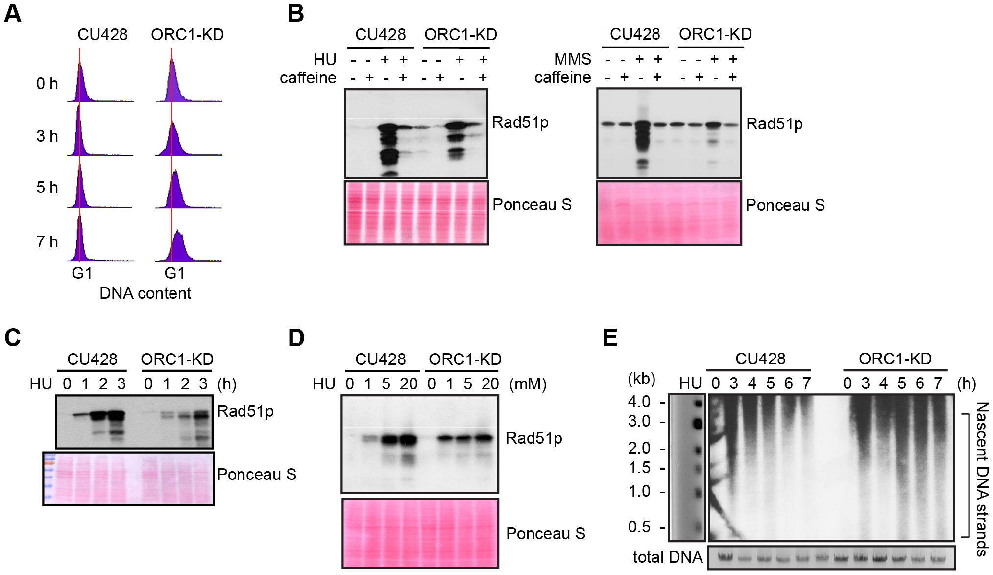 Abrogated intra-S phase checkpoint response in ORC1 knockdown cells.