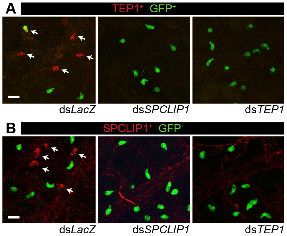 TEP1 and SPCLIP1 localization on dead parasites is mutually dependent.