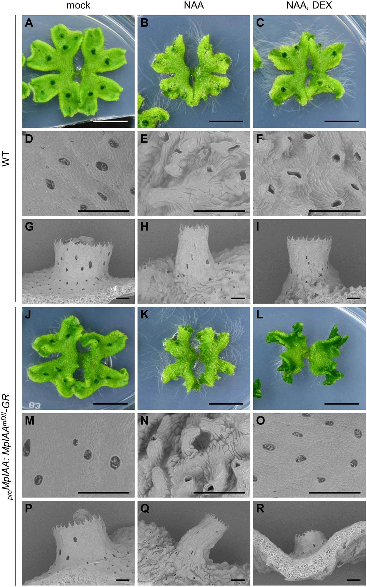 Effects of exogenous auxin on the morphology and cell shape.
