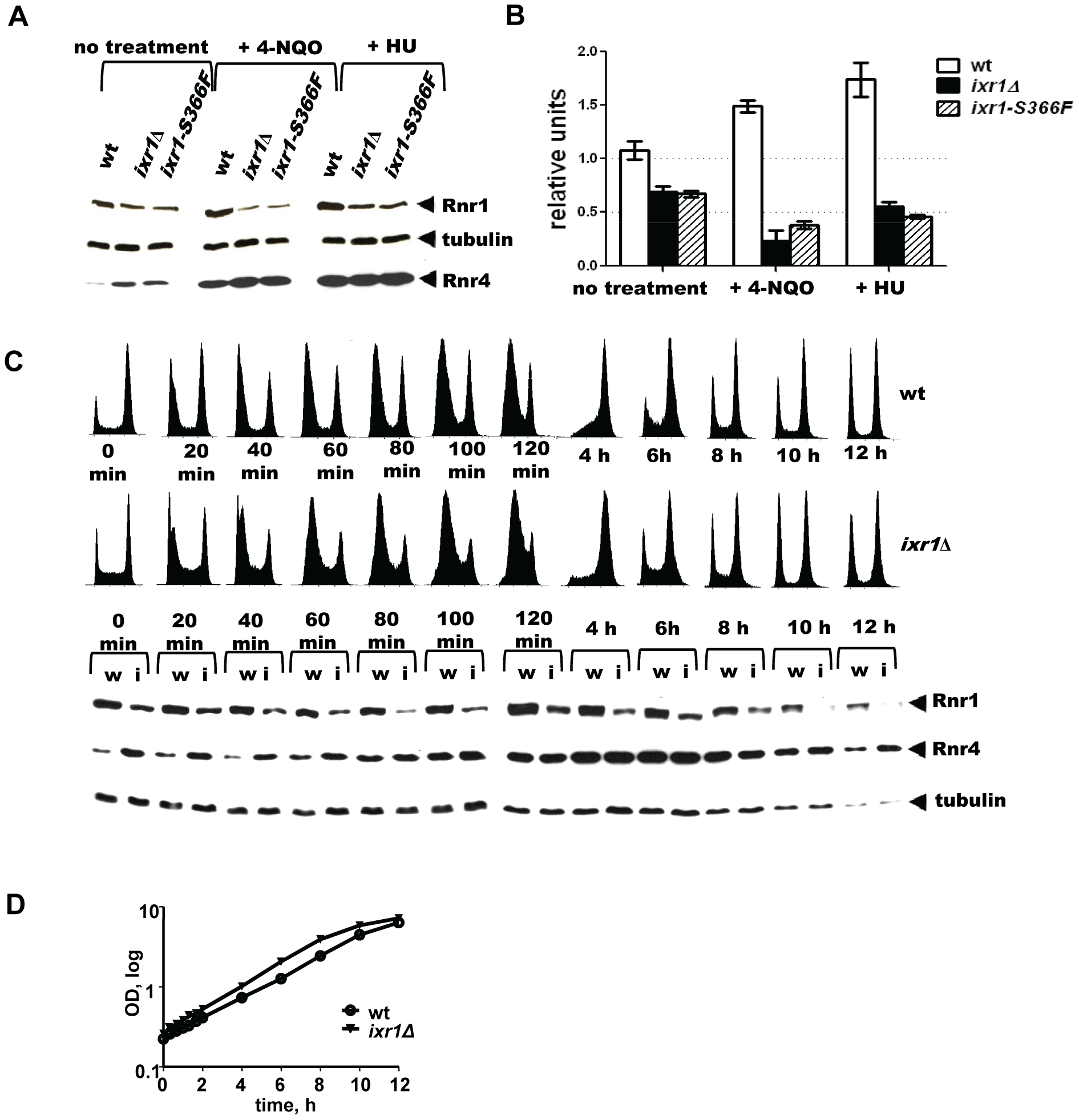 Rnr1 levels are reduced in <i>ixr1</i> after DNA damage.