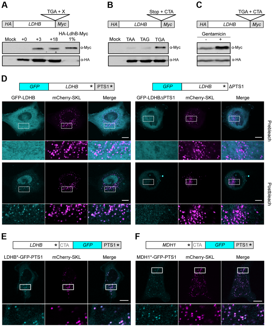 Analysis of peroxisomal targeting of LDHB via translational readthrough in HeLa cells.