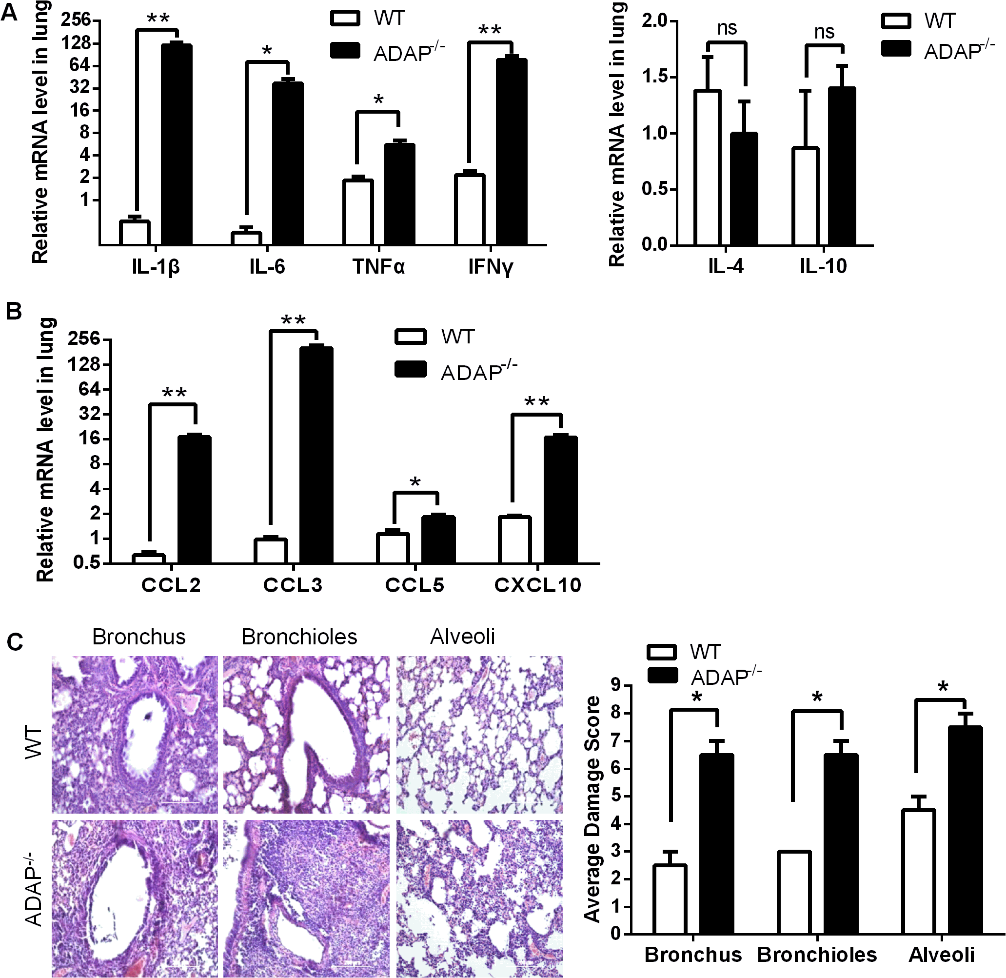 Severe inflammation and lung damage of H5N1-infected ADAP-/- mice.
