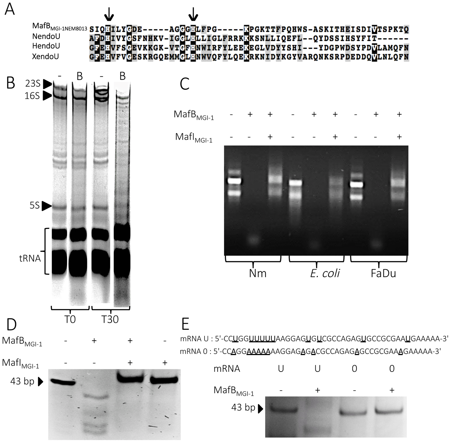 MafB<sub>MGI-1NEM8013</sub> is a bacterial EndoU nuclease.