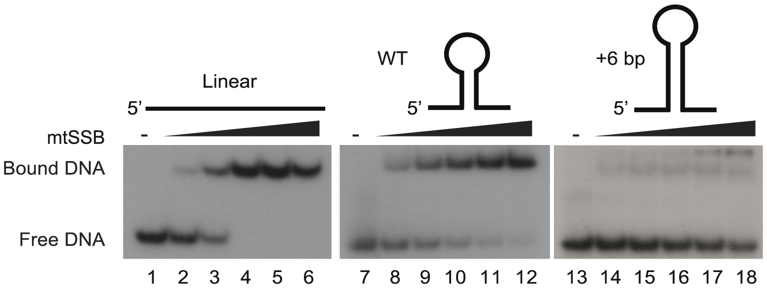 The stem-loop structure of OriL prevents mtSSB binding.