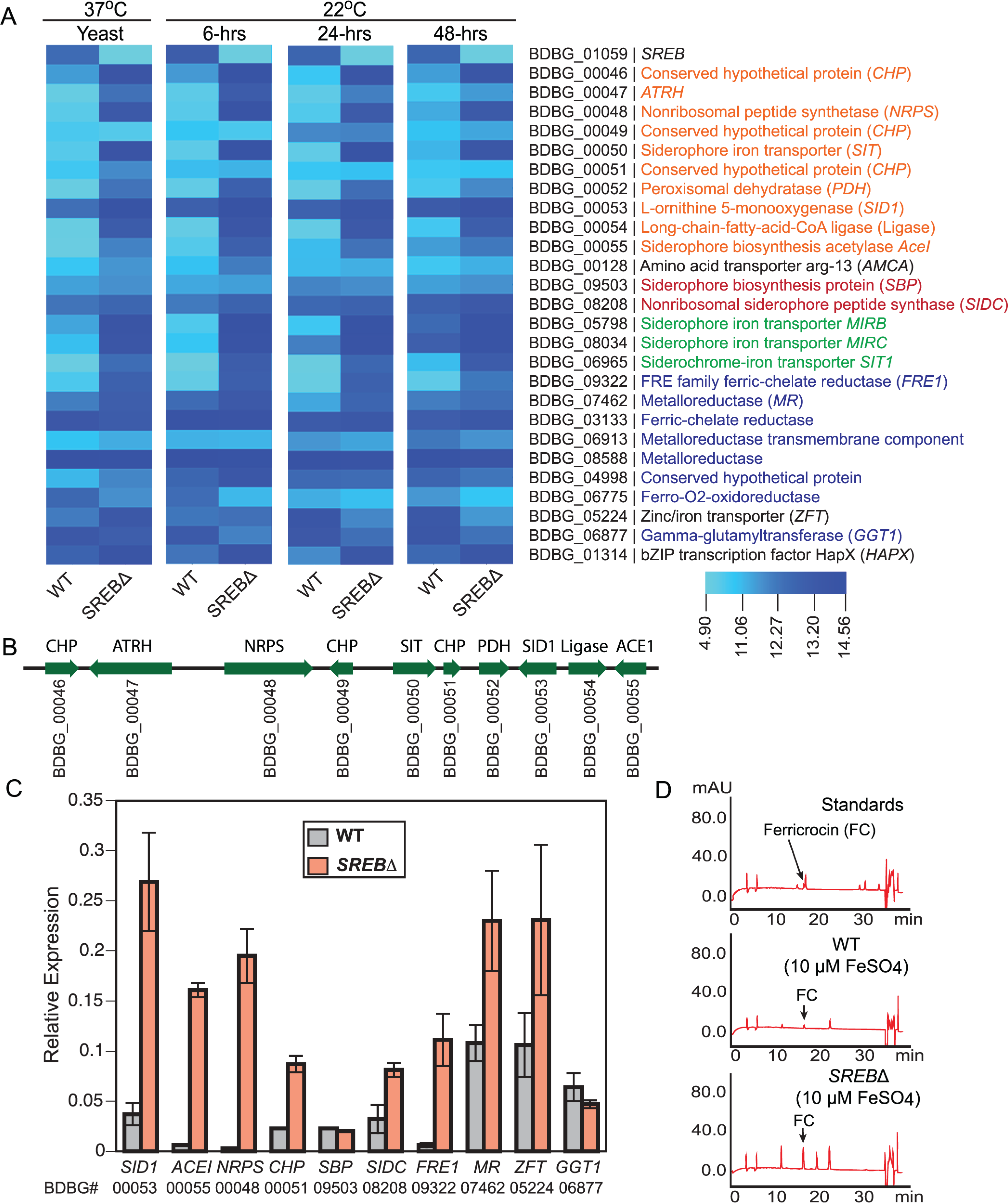 Genes in the <i>SREB</i> regulon involved with iron acquisition and homeostasis.