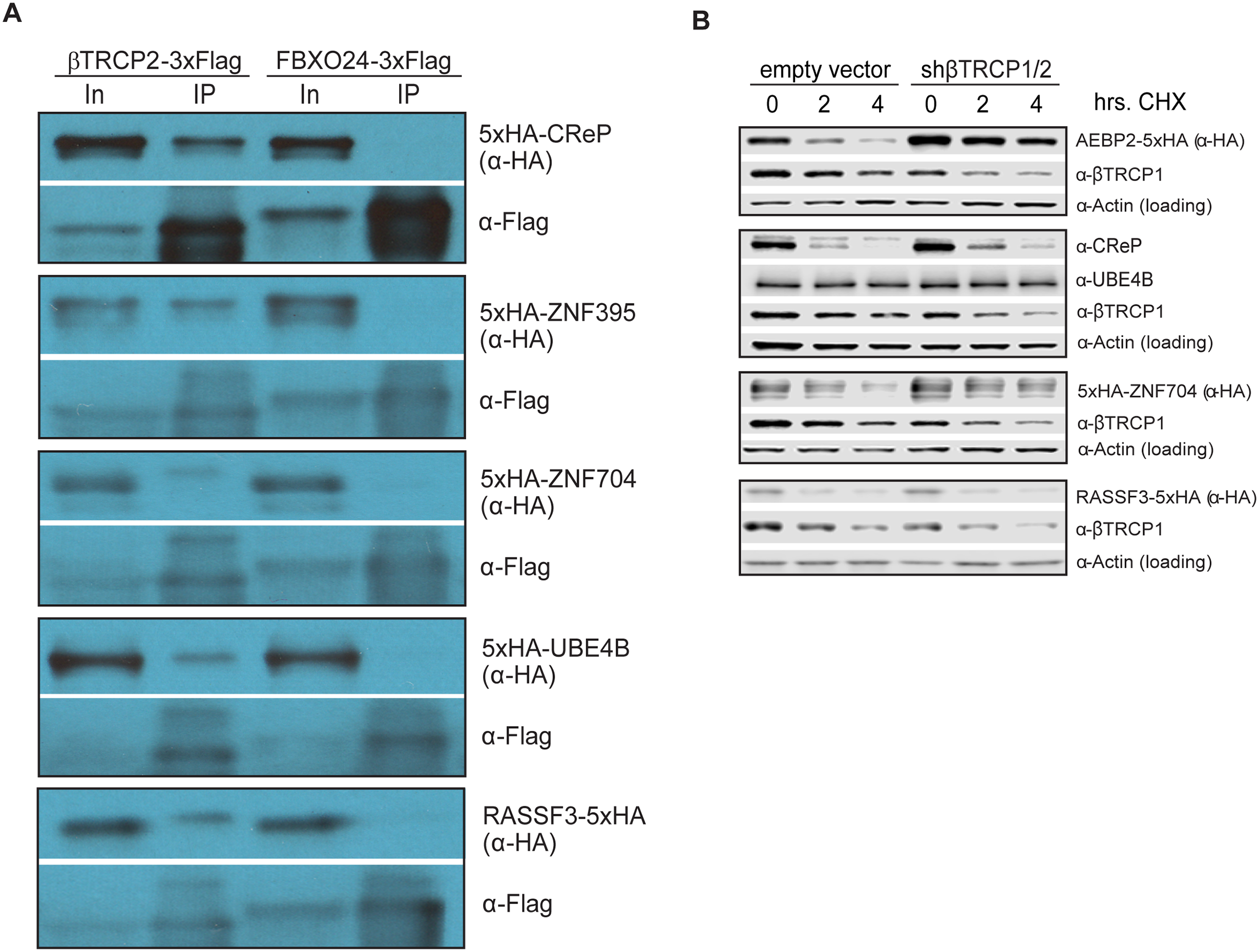 Ubiquitin ligase binding and turnover of a subset of novel βTRCP substrates.