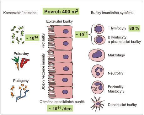 Kvantitativní aspekty interakce antigenů vnějšího okolí se slizničním systémem