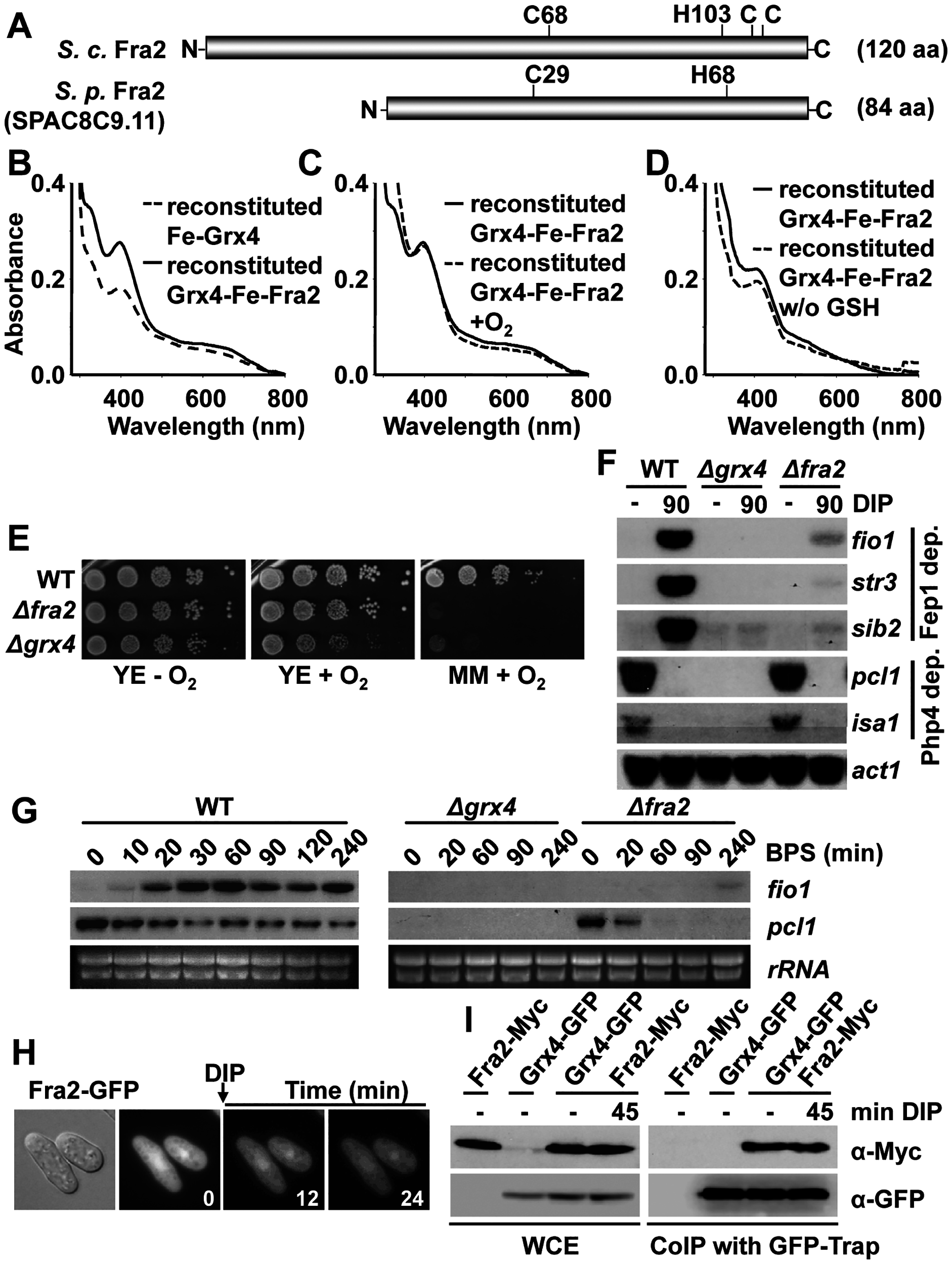 The BolA protein Fra2 participates in the Grx4-dependent signaling cascade.